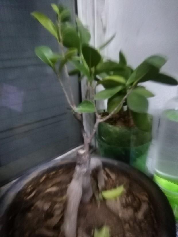 我的榕树叶子要掉光啦?
