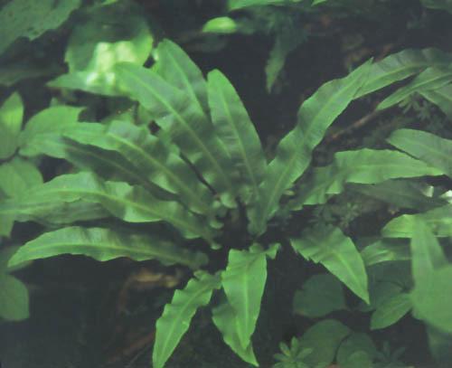 蕨孢子囊手绘结构图