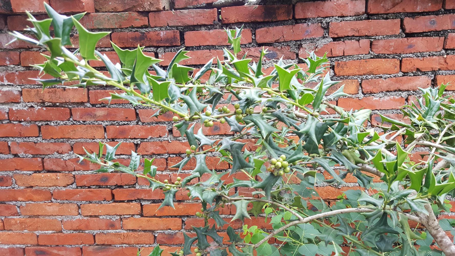 农村路边常见的怪树, 全身都是宝, 它的叶根果皮都能补肾肝 - 枫叶飘飘 - 欢迎诸位朋友珍惜一份美丽的相遇,珍藏