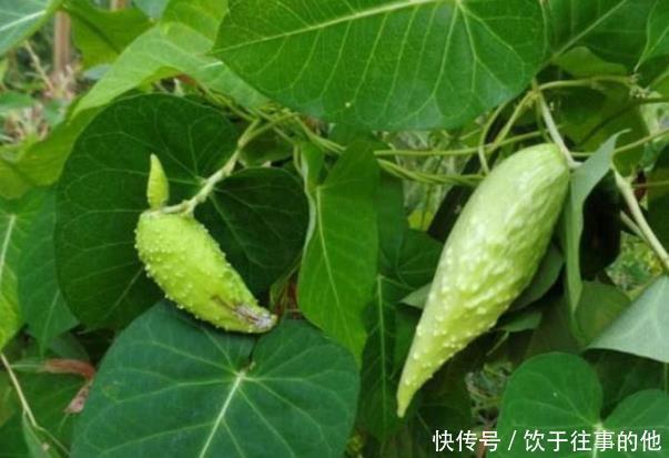 <b>乡下这种野果被视为天然补品,一斤能卖几十块,成了稀罕物</b>
