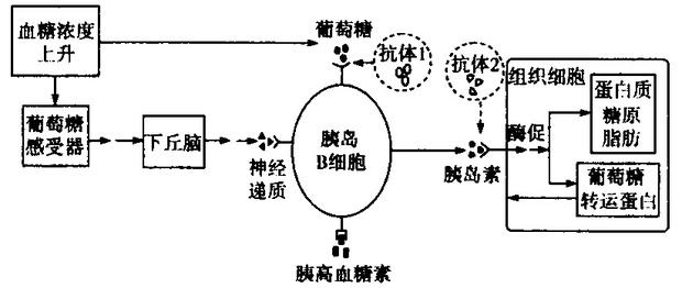 (1)胰岛素作用的靶细胞为_______________,若靶细胞表面缺乏胰岛素受体,则细胞将 _________ (填加快或减缓)摄取血糖。胰岛B细胞的活动还受神经系统的调控,则在反射弧的五个组成部分中,胰岛B细胞属于__________________。 (2)糖尿病病因之一是患者血液中存在异常抗体(图中抗体l、抗体2)。血糖调节中,如果因___________(填抗体1或抗体2)的存在导致高血糖症状,则注射胰岛素能起到有效降低血糖的效果。 (3)某糖尿病患者欲检测导致其患病的原因,该
