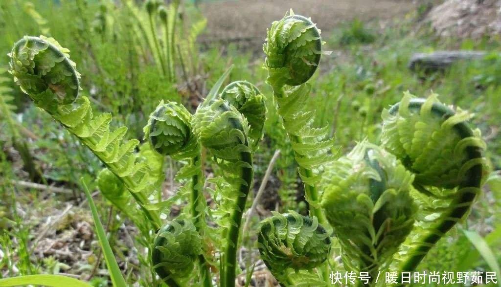 蕨菜野生美食山农村,我们应吃正确重庆狮子坪美味图片