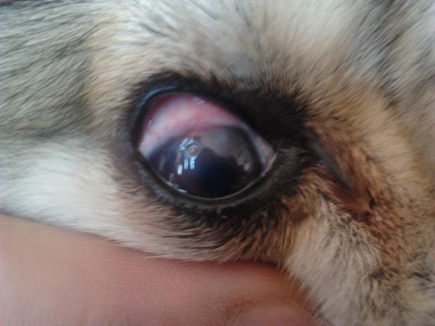 我家狗狗眼睛里面有个小坑!眼睛充血厉害!狗狗是不是得了什么病了!