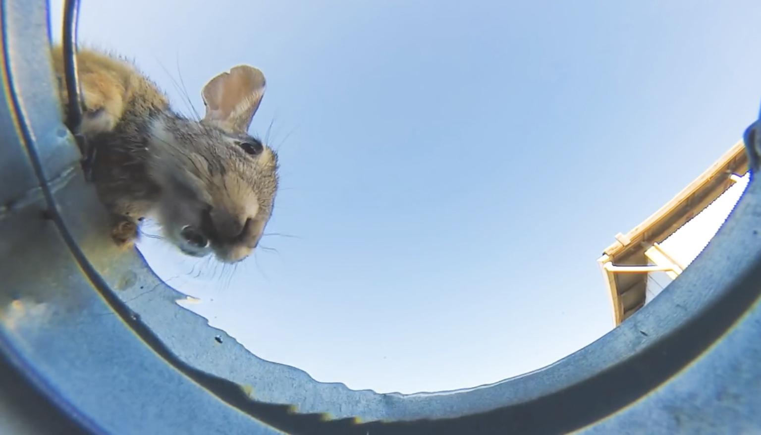 一个偷偷拍摄沙漠小动物到水桶中喝水的视频最近在网上走红.