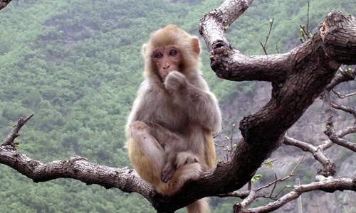 太行山猕猴属国家二级保护动物