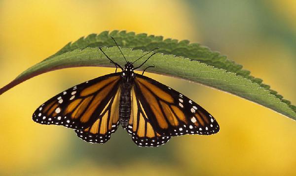 蝴蝶小知识:蝴蝶的翅膀为什么五彩斑斓?