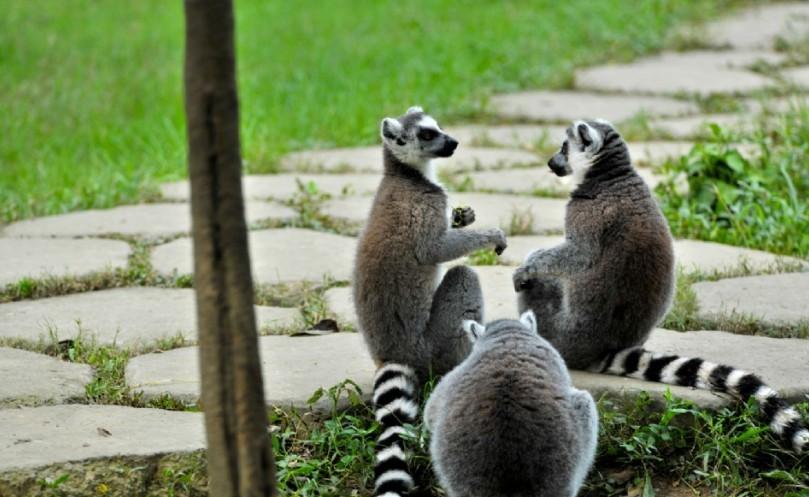 生活在马达加斯加岛的环尾狐猴