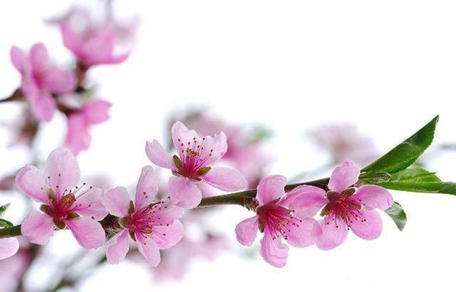 桃树栽培技术|北方桃树冬季管理技术(下)