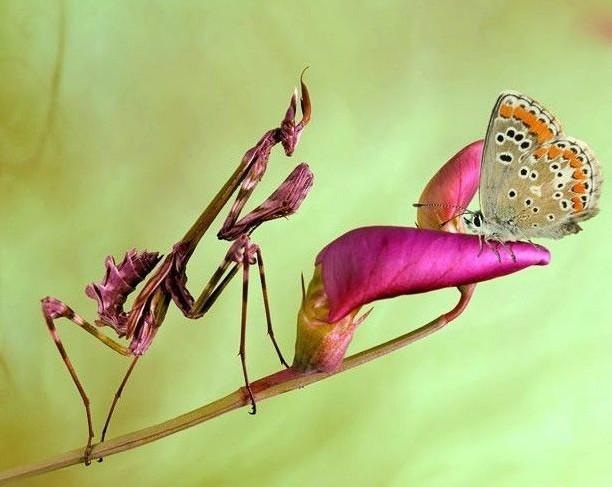 螳螂是节肢动物
