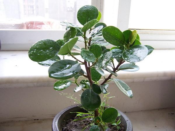 双子叶叶植物叶子的内部结构图