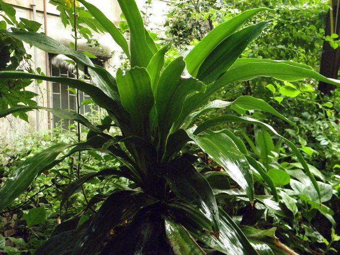 温度和光照。巴西木生长适温为20至28,休眠温度为13,越冬温度为5。温度太低,叶尖和叶缘会出现黄褐斑,严重的还会被冻坏嫩枝或全株。所以,在北方冬天要移入温室养护。在室内摆放的,应摆放在有光照处,室温保持6至8以上为好。夜间遇温度低时,可套上塑料袋保温,白天太阳出来,室温升高时,应及时拆去塑料袋,以便散热降温,防止闷坏。室内有取暖设备的,把盆放置远一些,防止吹干或烘坏枝叶。还要注意室内空气流动,但在开启门窗时,不能让冷风直接吹在枝叶上,也不要随意搬到室外晒太阳,以防止受冻。   水分和湿度。巴西