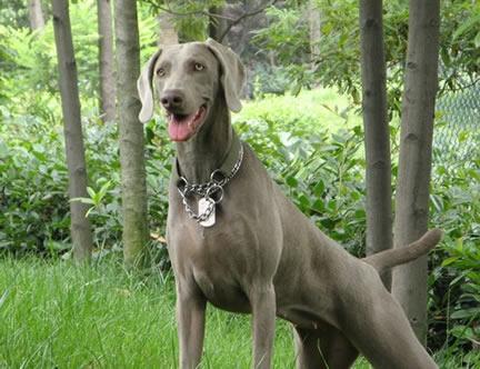 什么狗最聪明:世界狗狗智商排名表(图)