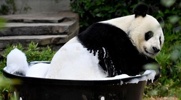 旅澳大熊猫沐浴洗澡 浑身泡沫萌死人