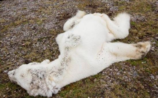 心碎!北极熊离家240公里找吃的,最终饿成皮包骨而死 -  - 真光 的博客