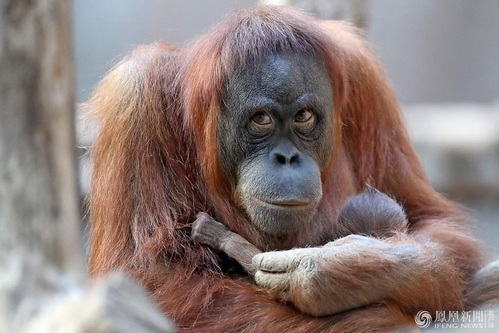 【转】北京时间     猩猩妈妈紧抱新生宝宝不让碰 - 妙康居士 - 妙康居士~晴樵雪读的博客