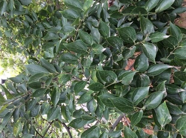 这是什么檀木树. 什么价格