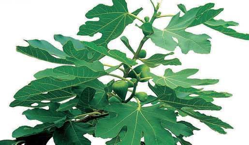 背景 壁纸 花 绿色 绿叶 盆景 盆栽 树叶 植物 桌面 515_300