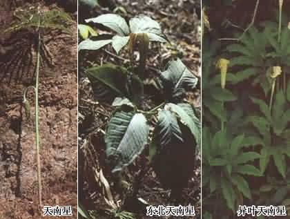 山榆子木头截面图