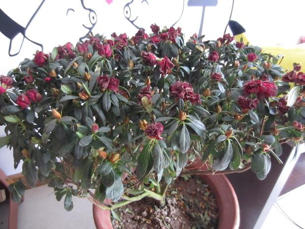 茶花开始掉叶子,杜鹃花都打蔫了图片