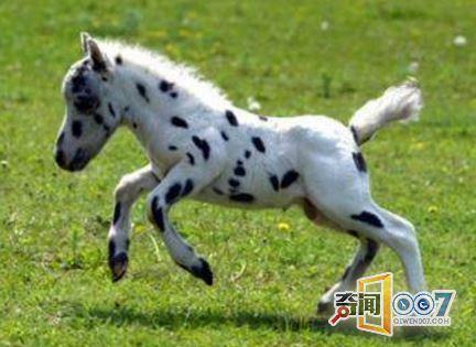 这种马因为身高成为世界上最萌的马,不仅样子迷人可爱,跑起来也是飞快! -  - 真光 的博客