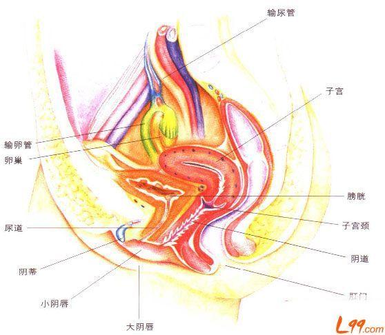 左右卵巢图片结构图