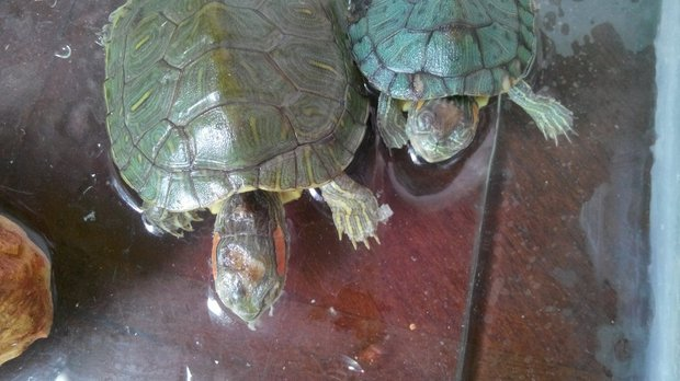 为什么我家的乌龟头部都烂了,而且为什么嘴巴老是张的