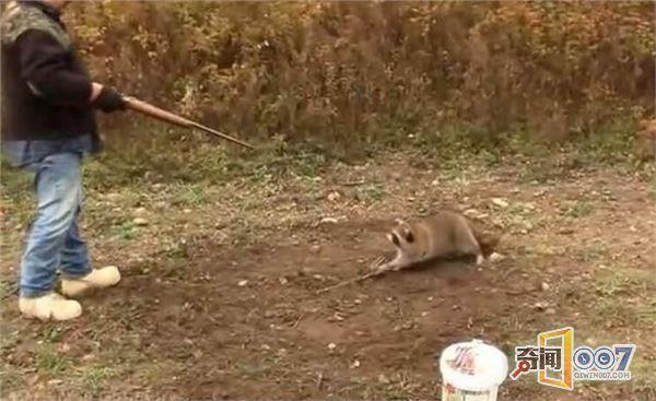 深圳克隆猪一模一样:小浣熊跪拜求饶被枪杀 - 一统江山 - 一统江山的博客
