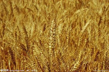 小麦叶子边缘发黄,有伏倒现象