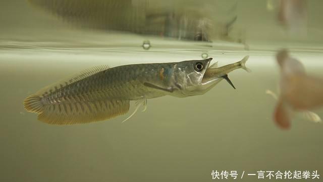 二十厘米的小银龙投喂孔雀鱼苗可以吗?