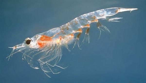 南极磷虾多达10亿吨 吃货们约吗?