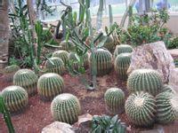 仙人球/仙人球(学名;Echinopsis tubiflora),俗称草球,又名长盛球,...