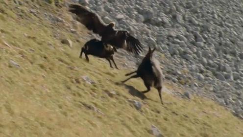 老鹰猎杀山羊,没承想遇到了战斗羊,顽强老鹰依然死磕到底!