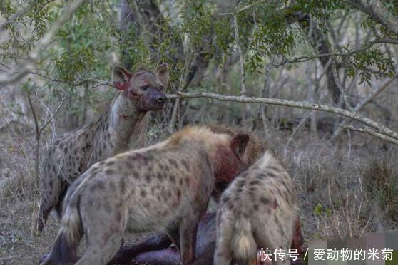 难怪鬣狗在草原上地位如此稳固,它们果然够狠够凶残,智商更是高