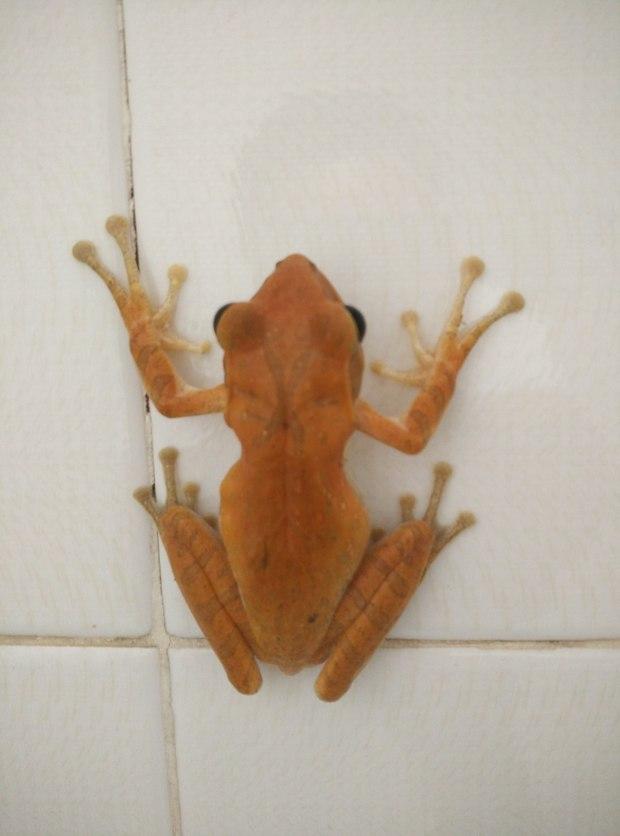这是在云南普洱发现的一种像青蛙的动物,生存在我的卫生间里有三个月