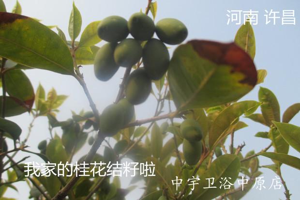桂花籽长成开花的树要多长时间