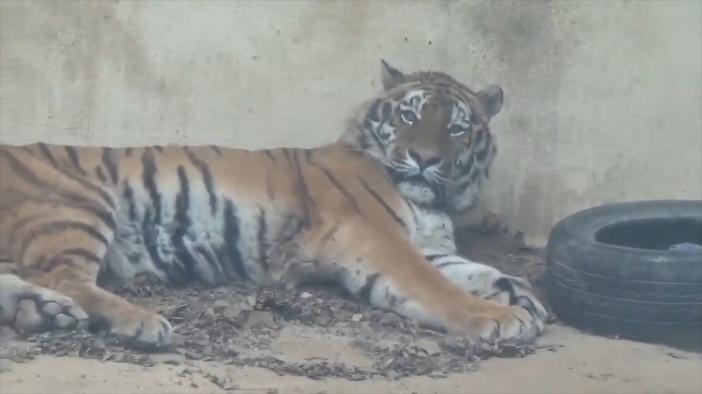 动物园广播突然卡碟 老虎整个虎都迷惑了
