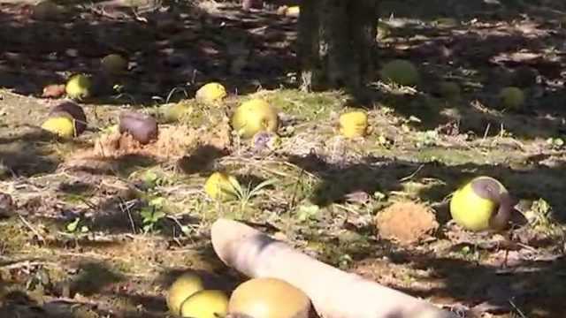台风后遇高温,果农愁20万斤梨滞销