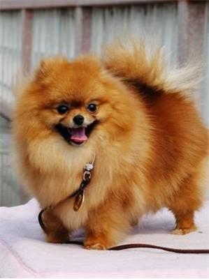 博美是一种小型宠物犬