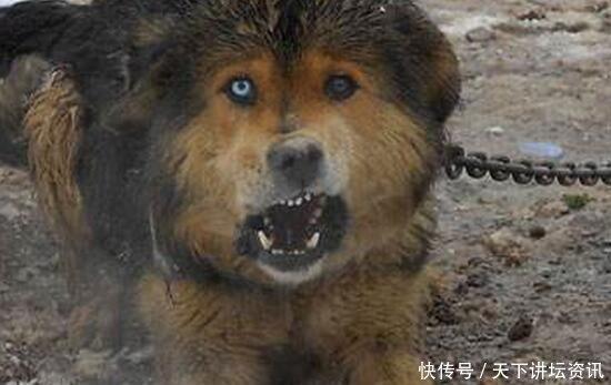 藏獒吃主人_藏獒吃主人事件,活生生被咬死啃掉皮肉只剩下骨头