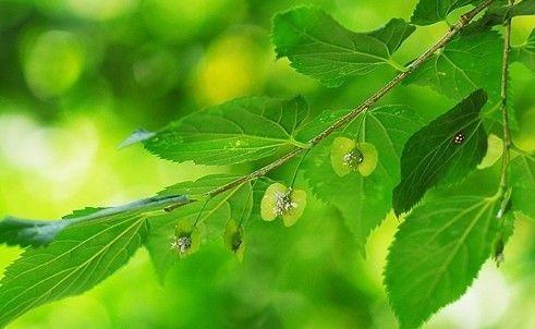 """传说中的""""降龙木""""是什么树种?有什么奇特的作用?"""