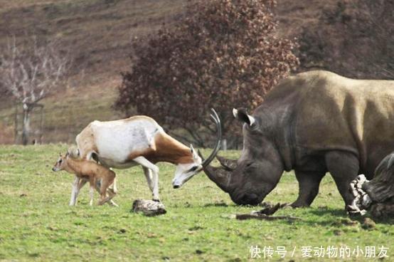 面对比自己大数倍的庞然大物,羊妈妈还是毅然为护其爱子英勇搏斗