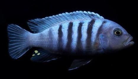 雄鱼则变成了深蓝黑色,体侧有一条发出金属光芒的浅蓝色条纹从腮盖后