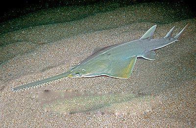 脊椎动物,也用吻锯袭击成群的鱼类而食其受伤的个体