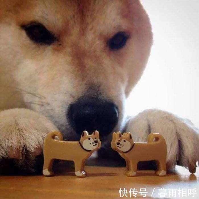沙雕柴犬头像_沙雕柴犬图片