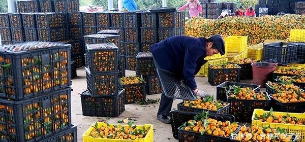 广西桂北蜜橘5毛一斤元仍滞销,果农心寒,砂糖