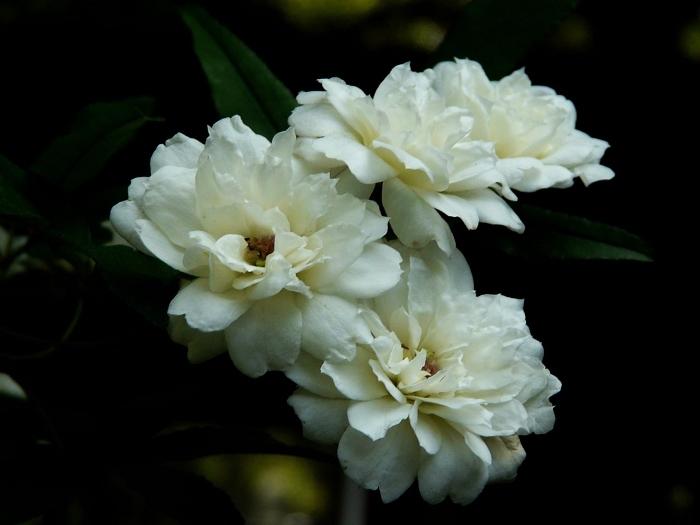 白蔷薇1 图片合集