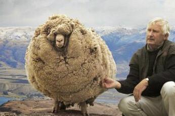 【转】北京时间      男子发现巨大的绵羊,清洗剪毛干净后被震撼到了 - 妙康居士 - 妙康居士~晴樵雪读的博客