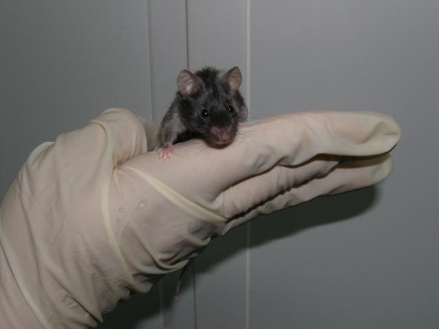 科学家利用基因编辑技术剔除小鼠艾滋病病毒 - 钟儿丫 - 响铃垭人