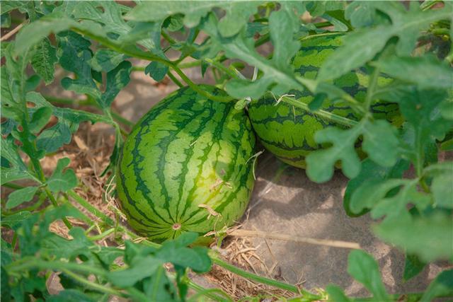 又到吃瓜季节:老果农来教你怎么挑西瓜 - 一统江山 - 一统江山的博客