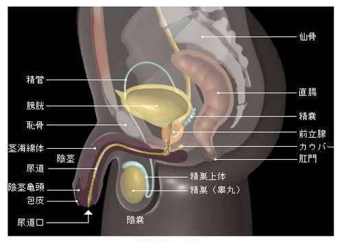 男性的前列腺解剖!